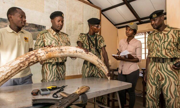 Bwalya Kampamba and three rangers circled around poached elephant tusk (Courtesy photo)