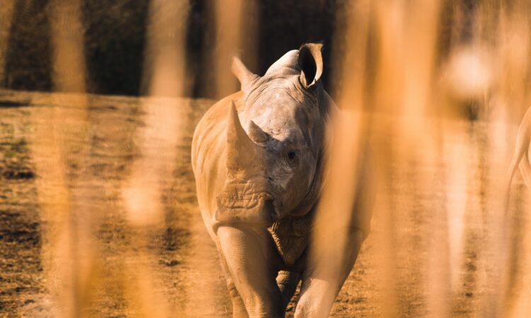 View of a rhino through tall grass (Photo by Jacob Brogdon on Unsplash)