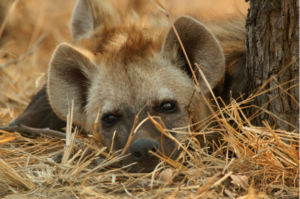 A baby hyena rests in South Africa.