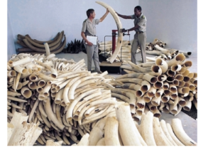 Two men holding up tusk with piles of tusks around them (Thinkstock)