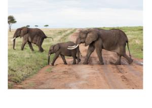 A caravan of elephants crosses a road in the Masai Mara National Reserve. (Matt Biddulph/flickr)