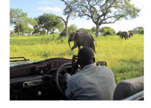 Man stares at elephants.