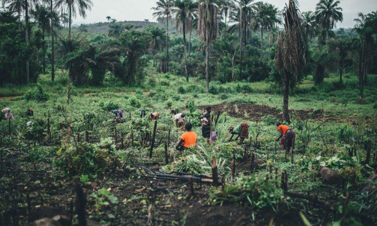 Crop field in Sierra Leone