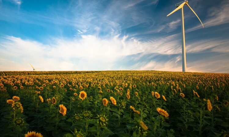 Field of sunflowers with windmill